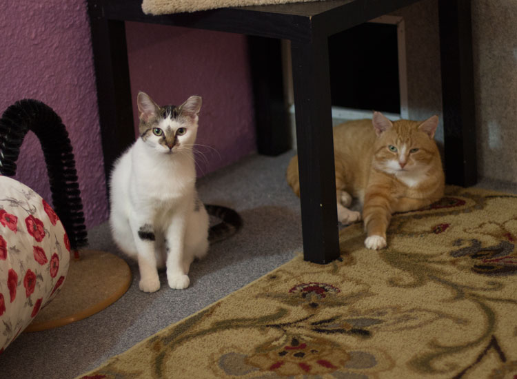 How to Coexist Several Cats at Home